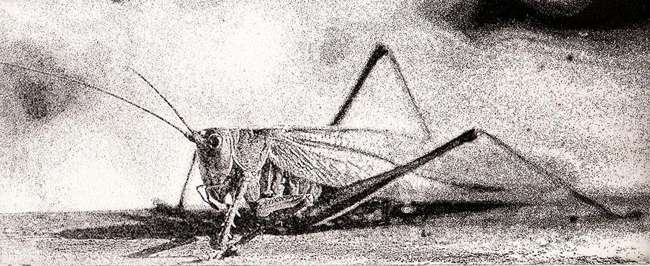 Gräshoppan