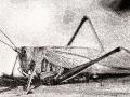 Gräshoppan etsning