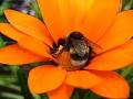 Humla orange blomma, foto